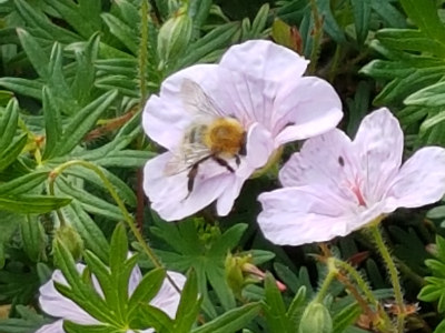 Bee on Geranium flower