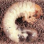 Chafer Grub - Rolawn Turf Advice