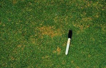 Anthracnose in turfed areas
