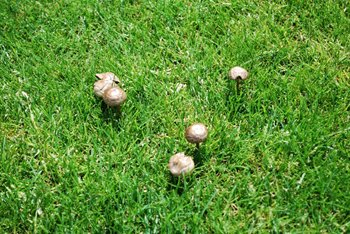 Toadstools And Fungi In Turf And How To Deal With Them
